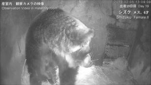 今年の産室観察カメラの映像をヒグマ博物館にて公開中!
